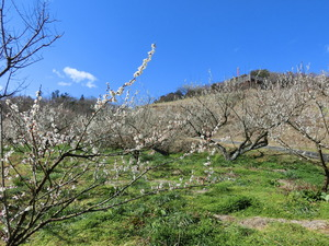 Tsukigase plum-grove of February when plum blossoms are in full glory