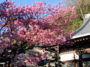 End of January Sakura Doi